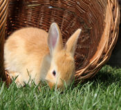 Rabbit in a basket. On a meadow Royalty Free Stock Photo