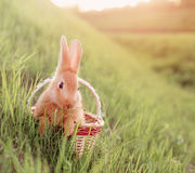Rabbit in basket outdoor Royalty Free Stock Image