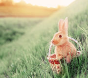 Rabbit in basket outdoor. Red rabbit in basket outdoor Royalty Free Stock Image
