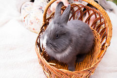 Rabbit in the basket Stock Images