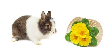 Rabbit and basket with primulas Stock Photos