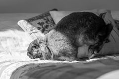 Rabbit on bed. Long eared rabbit on bed Royalty Free Stock Photography