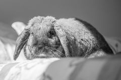 Rabbit on bed. Long eared rabbit on bed Stock Images