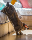 Rabbit on bed. Long eared rabbit jumping down to floor Stock Photos