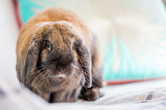 Rabbit on bed Royalty Free Stock Photos