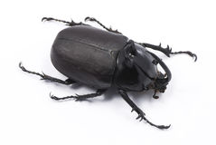 Rabbit Beetle Stock Image