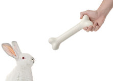 Rabbit being lured by a bone Royalty Free Stock Photos