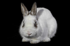 Rabbit. On a black background Royalty Free Stock Images