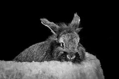 Rabbit on a black background stock image