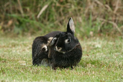 Rabbit. Black rabbit in the meadow Stock Images