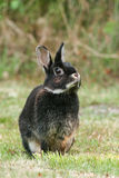 Rabbit. Black rabbit in the meadow Royalty Free Stock Photos