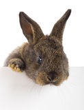 Rabbit with blank billboard Stock Images