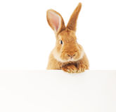 Rabbit with blank Royalty Free Stock Photo