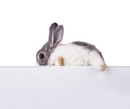Rabbit with blank sheet on white background Royalty Free Stock Photography
