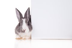 Rabbit with blank sheet on white background Stock Photos