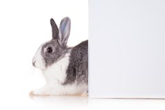 Rabbit with blank sheet on white background Stock Images