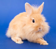 Rabbit on Blue Stock Images