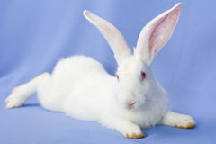 Rabbit on a blue background Stock Photo
