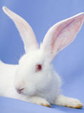 Rabbit on a blue background Royalty Free Stock Image