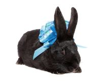 Rabbit with blue bow. Stock Photos