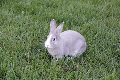 Rabbit with blue eyes Stock Images