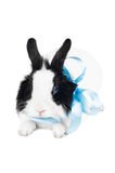 Rabbit with blue ribbon Stock Image