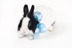 Rabbit with blue ribbon isolated Royalty Free Stock Images