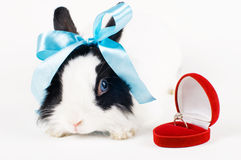Rabbit with blue ribbon and Wedding ring in case i royalty free stock photos