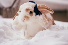 Rabbit with blue winter hat Stock Photo