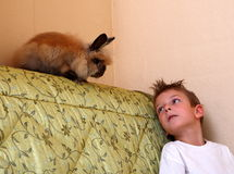 Rabbit and boy. One nice boy playing with rabbit in the home Royalty Free Stock Photo
