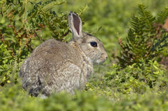 Rabbit in Bracken. On Skomer Island Stock Image