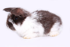 Rabbit breed of `French sheep` Royalty Free Stock Photos