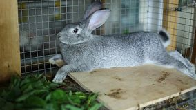 Rabbit breed gray chinchilla in a cage stock footage