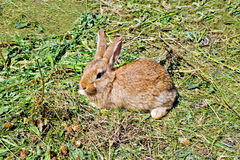 Rabbit brown on the grass Royalty Free Stock Image