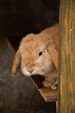 Rabbit. A brown old rabbit is interesting;y looking around Royalty Free Stock Image