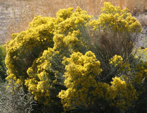 Rabbit Brush (Chrysothamnus viscidiflorus) Royalty Free Stock Images