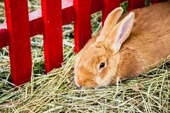 Rabbit or bunny in cell on farm Royalty Free Stock Image