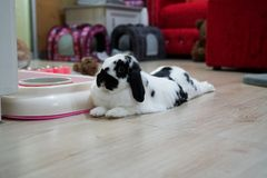 rabbit bunny ear holland lop black and white color in the home royalty free stock photo