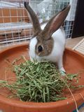 Rabbit bunny eating royalty free stock image