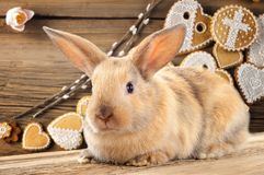 Rabbit, bunny, hare, cony, coney, lapin. A burrowing, gregarious, plant-eating mammal with long ears, long hind legs, and a short tail Royalty Free Stock Photo