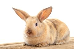 Rabbit, bunny, hare, cony, coney, lapin. A burrowing, gregarious, plant-eating mammal with long ears, long hind legs, and a short tail Stock Photography