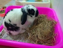 Rabbit bunny holland lop royalty free stock photo