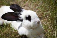 Rabbit bunny lay in grass Stock Photos