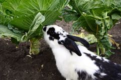 Rabbit and cabbage Royalty Free Stock Photos