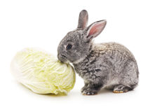 Rabbit and cabbage. Stock Photos