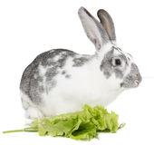 Rabbit with cabbage Royalty Free Stock Photo