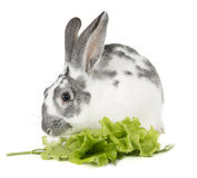 Rabbit with cabbage Stock Image