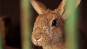 Rabbit close-up in a cage at animal farm. Rabbit in a cage, close-up. Rabbit close-up in a cage at animal farm. Close-up of domestic rabbits in cage at animal stock footage