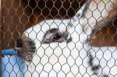 Rabbit in a cage. Close up of Cute rabbit in a cage   at farm  looking at the camera Stock Photography