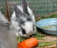 Rabbit in a cage eating carrots stock photo